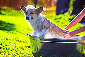 funny red puppy with foam on his head carefully wash the hands of the hostess in a large metal trough in the village in the grass on a Sunny warm day