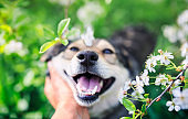 hand stroking cute smiling puppy in the spring warm may garden among the branches of cherry blossoms