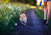 young girl with long legs in shorts is having fun walking with a cute Corgi dog puppy along a rural country road among fields and flowers on a warm summer day