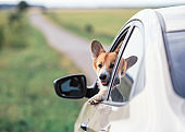 redhead a Corgi dog puppy stuck its snout and paws out of a car window on the road during a trip