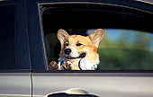 red dog puppy Corgi stuck his face and paws out the window of the car and quite smiling during the summer trip