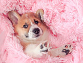 little puppy of ginger dog Corgi lies in pink a fluffy blanket with its muzzle and paws out