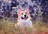 cute puppy red dog Corgi funny stuck out pink tongue on natural background of cherry blossoms in spring Sunny may garden