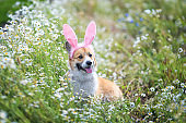 contented puppy dog red Corgi in festive Easter pink rabbit ears sits on meadow surrounded by white chamomile flowers on a Sunny clear day funny tongue sticking out