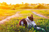 portrait of a cute kitten lying in the grass in a Sunny meadow and looking at a beautiful flying butterfly on a clear summer day in the village