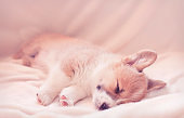 little Corgi dog puppy with big ears sleeps sweetly on a white fluffy blanket stretching legs
