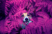 cute puppy red Corgi dog peeking out-behind a thicket of lilac autumn bright grass fern in the Park for a walk and smiling happily
