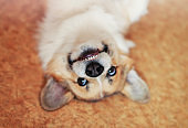 portrait of cute puppy red Corgi dog lying on his back smiling cheerfully and playing on the floor
