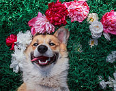 dog corgi lies on a green meadow surrounded by lush grass and flowers of pink fragrant peonies and b spruce roses and happily smiling