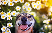 portrait hand stroking cute puppy with open mouth and tongue sticking out in framed flowers daisies in a summer meadow