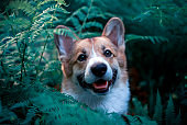 funny red puppy dog corgi looks out of the thickets of fern leaves