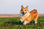 beautiful red dog puppy Corgi runs fast on green grass in spring glade with green young grass funny sticking out his tongue and stretching out his small plump legs