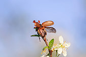 large insect May-beetle flies up spreading its wings from a beautiful cherry blossom branch in the garden against the background of it heaven