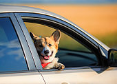 fashionable red dog puppy Corgi stuck his face and paws out the window of the car and quite smiling during the summer trip