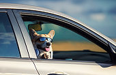 puppy Corgi stuck his face in sunglasses and headphones and paws out the window of the car and quite smiling during the road in the summer vacation