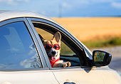 fashionable red dog puppy Corgi stuck his face in sunglasses out the window of the car and pretty smiles during the summer trip