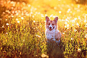 portrait of a cute red puppy dog Corgi sitting on a summer meadow with the warm air the seeds of a dandelion flower against the bright sunset sunlight