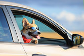 dog puppy Corgi stuck his face in sunglasses and paws out the window of the car and quite smiling during the summer trip