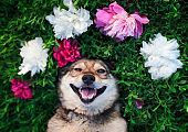 brown dog lies on a green meadow surrounded by lush grass and flowers of pink fragrant peonies and white roses and smiling happily
