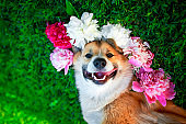 cute puppy dog corgi lies on a natural green meadow surrounded by lush grass and flowers of pink fragrant peony and in white roses and smiling happily