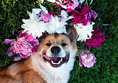 puppy dog corgi lies on a green meadow surrounded by lush grass and flowers of pink fragrant peonies and b spruce roses and happily smiling sticking his tongue out