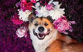 cute puppy dog  lies on a lilac meadow surrounded by lush grass and flowers of pink fragrant peonies white roses and smiling happily tongue hanging