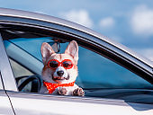 funny ginger Corgi dog puppy in sunglasses and a headscarf stuck his snout and paws out the car window during a trip