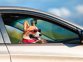 fashionable funny ginger Corgi dog puppy in sunglasses leaned out the car window on the road during the trip