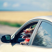 trendy funny ginger Corgi dog puppy in sunglasses leaning out of a car window on the road during a trip