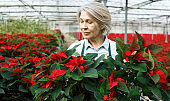 Female arranging poinsettia plants in glasshouse