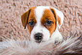 Cute puppy is playing in fur on brown background.