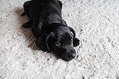 Little dog resting