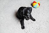Black puppy sitting