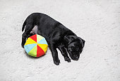 Puppy sleeps with ball