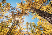 Golden pine forest with sunlight in national park