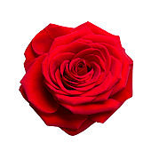 Beautiful red rose isolated on white background close-up.