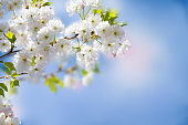 White Sakura flowers. Abstract spring blossom background. Springtime. Banner background with copy space