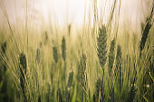 green rye field and blue sky