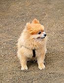 Cute fluffy Pomeranian Spitz sitting on a walk in a spring park.Dog breeds concept.