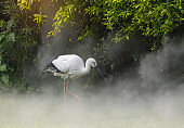 Oriental white stork in their natural habitat