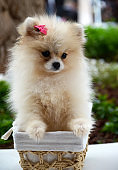 Cute fluffy Pomeranian Spitz puppy sitting  in a basket on a walk in the park.Dog breeds concept.