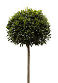 Bay tree (Laurus Nobilis)