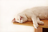 Portrait of lovely cute white cat rest and sleep in room of apartment. Dear sweet female cat enjoy at home on wooden cabinet in comfortably furniture, asleep and feeling happy in morning. Pet concept.