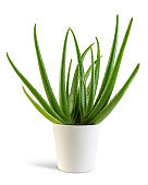 Aloe Vera plant with white pot isolated from the background.