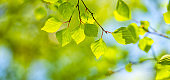 Birch tree leaf panorama