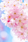 Beautiful Pink Cherry Blossoms