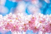 Pink Cherry blossom border