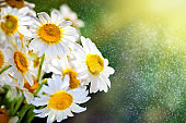 Beautiful field camomile in a garden. Summer flowers. Fine meadow. Summer background. Selective focus.