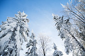 Low angle view of treetops of snow-covered coniferous trees in forest in winter.