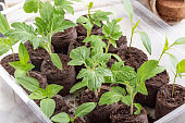 Young tomato and paprika seedling sprouts in the peat tablets. Gardening concept.